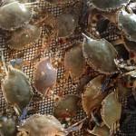Live Crabs Stuart FL
