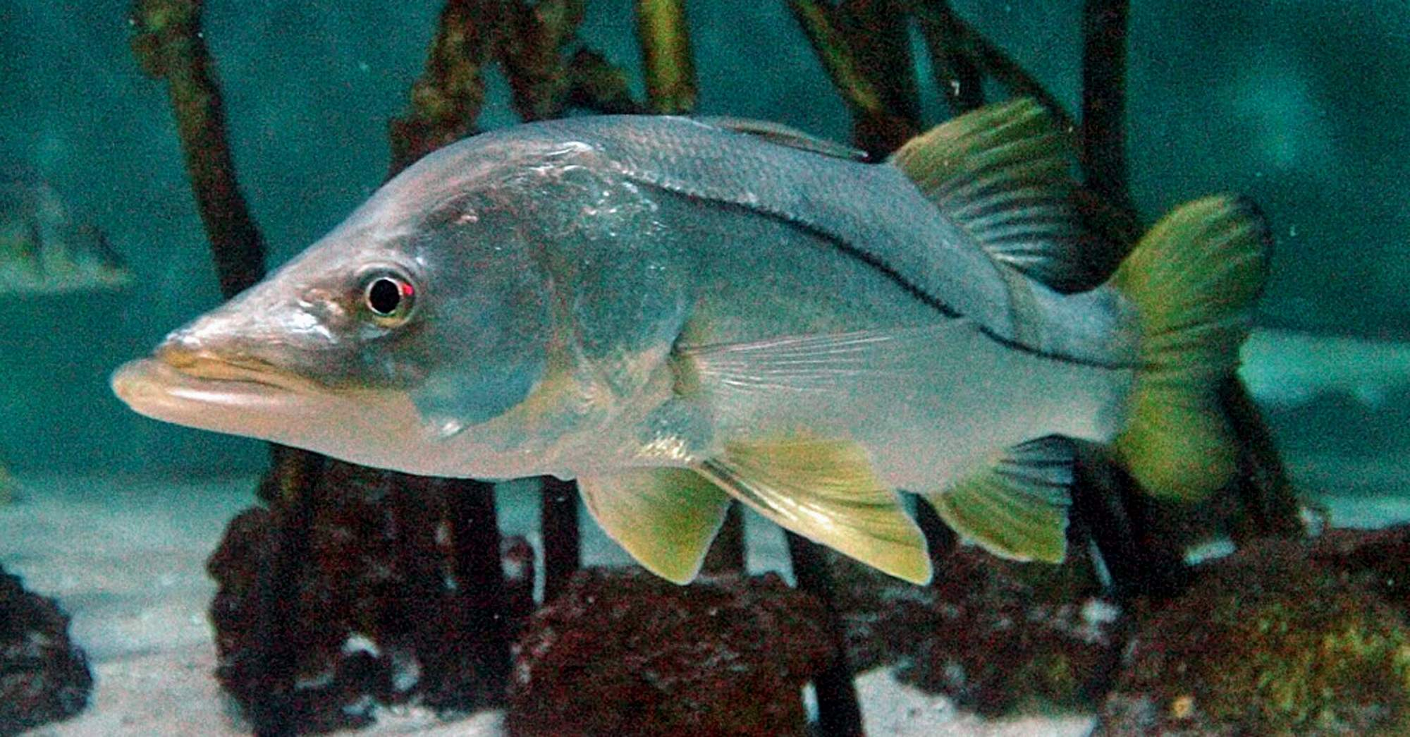 Snook fishing tips stuart angler for Snook fishing lures