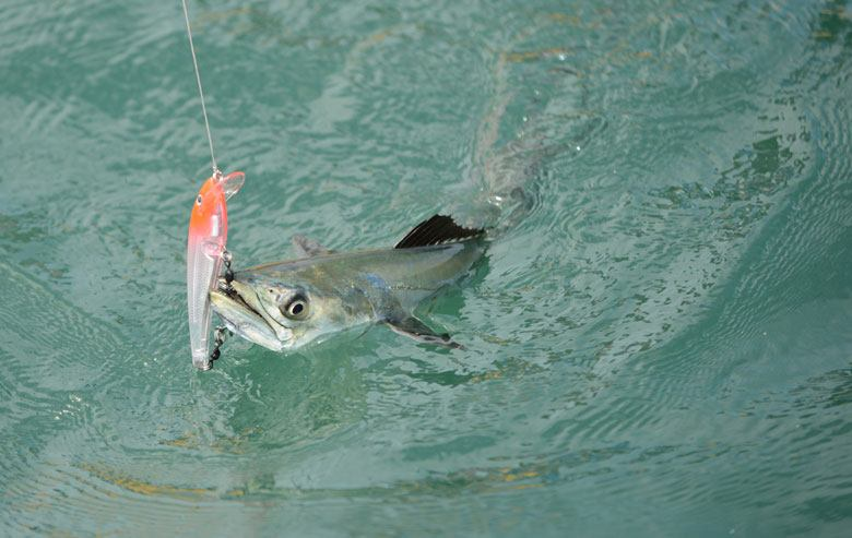Tips for spanish mackerel fishing stuart angler for Spanish mackerel fish